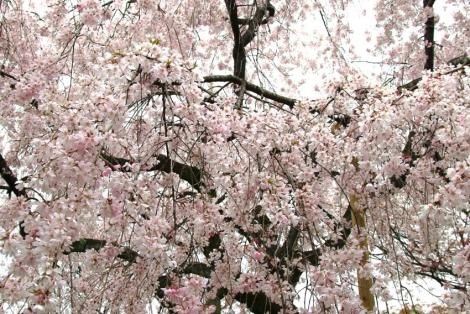 京都桜便り6