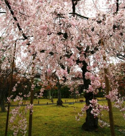 京都桜便り7