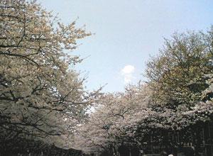 2007sakura300w.jpg