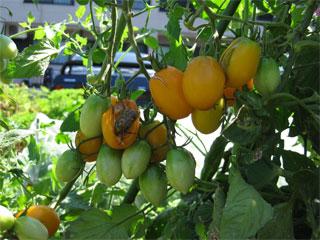 家庭菜園06