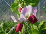 ツタンカーメンの花。