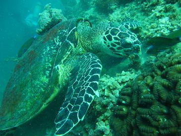 タイ・タオ島・ダイビング・魚・タイマイ