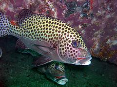 タイ・タオ島・ダイビング・魚・チョウチョウコショウダイ成魚