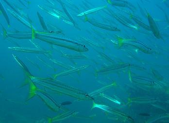 タイ・タオ島・ダイビング・魚・タイワンカマス