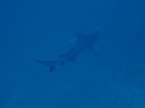 タイ・タオ島・ダイビング・チュンポンピナクル・グレイリーフシャーク