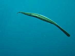タイ・タオ島・ダイビング・魚・ウケクチノホソミオナガノオキナハギ