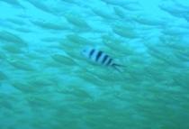 タオ島 ダイビング ホソヒラアジ