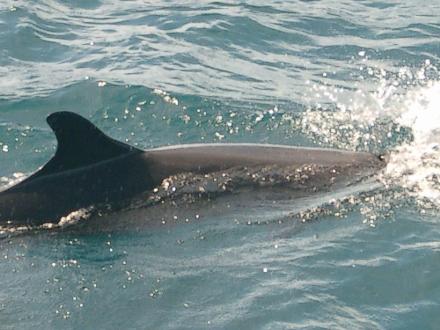 タオ島 ダイビング ゴンドウイルカ