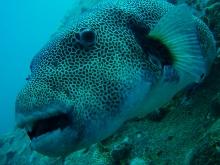 タオ島 ダイビング 魚 モヨウフグ