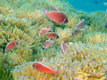 タオ島 ダイビング ハナビラクマノミ