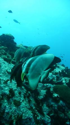 タオ島 ダイビング ツバメウオ孤独