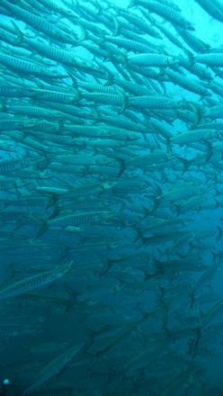 タオ島 ダイビング バラクーダの群れ