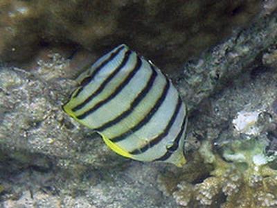 タオ島 ダイビング ヤスジチョウチョウウオ