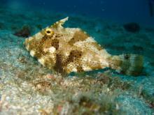 タオ島 ダイビング コクテンハギ