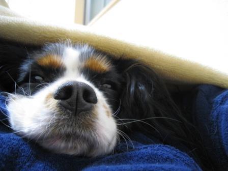キャバリアは布団で寝る