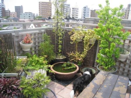 屋上睡蓮鉢