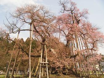 年老いた桜