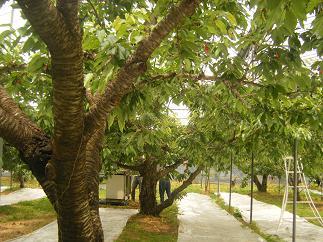 さくらんぼの木がいっぱい