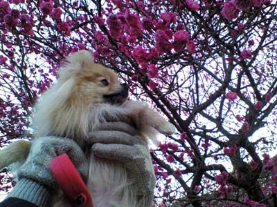 梅を嗅ぐ娘
