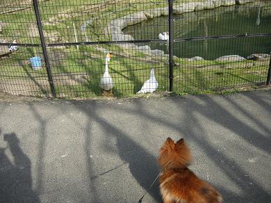 ガチョウとアヒルの池