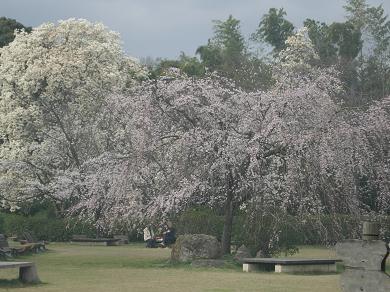 しだれ桜と木蓮