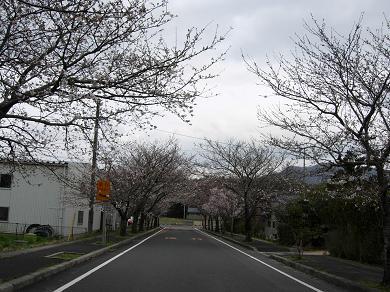 公園出入り口の桜のトンネル