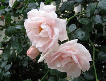 クライミングローズ近所うすピンクつるバラ