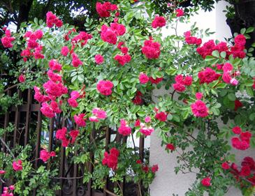 つるバラ濃いピンク