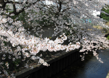 白子河の桜