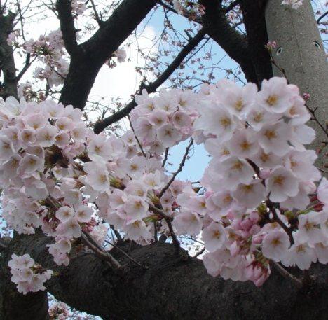かたまり咲き