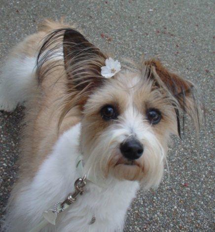 桜をつけた犬