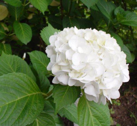 ひいきの花