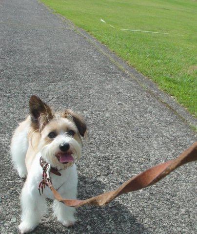 歩きたくない犬
