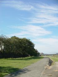 犀川緑地の桜の木