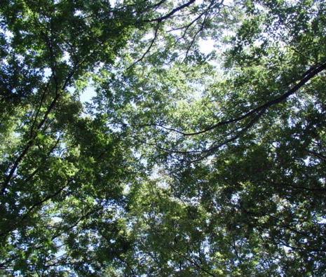春日神社の樹1