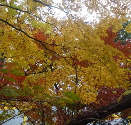 黄色になった樹