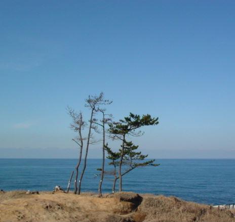 加佐の岬の木