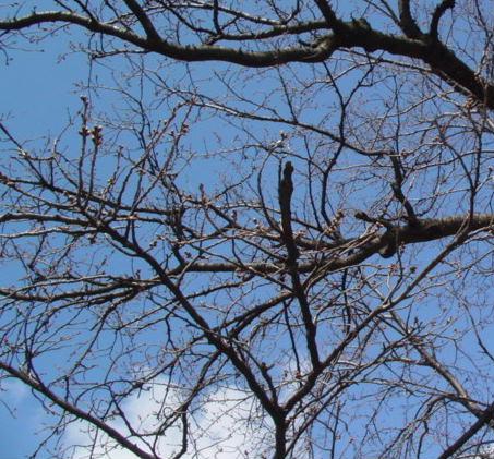 3月18日の桜