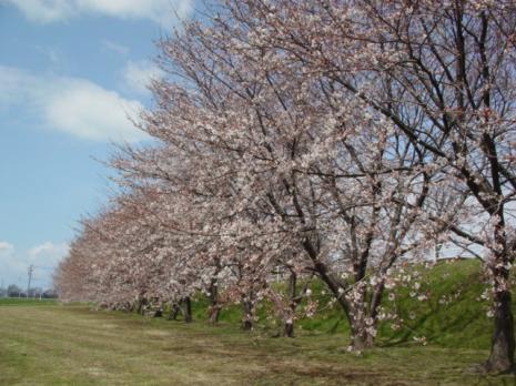 ピカイチの桜並木