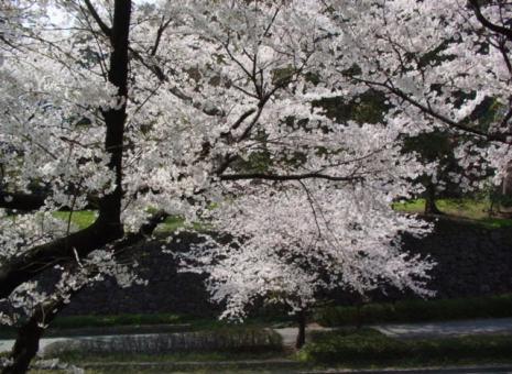 兼六園周辺の桜