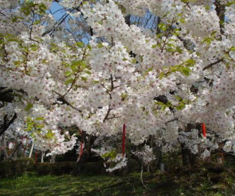 黄緑の葉桜