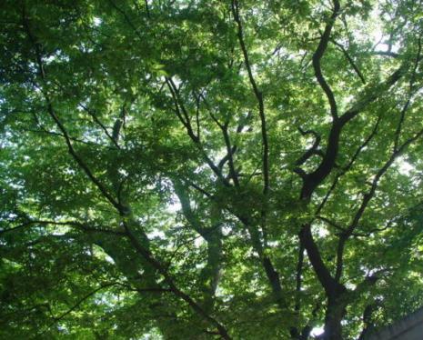 春日神社の樹