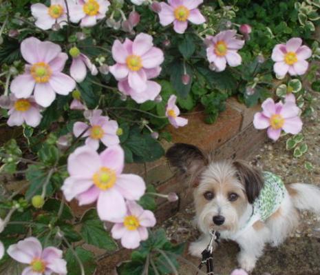 秋明菊とリプ