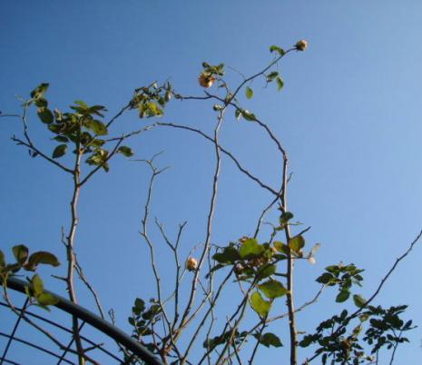 バラの枝のアーチ