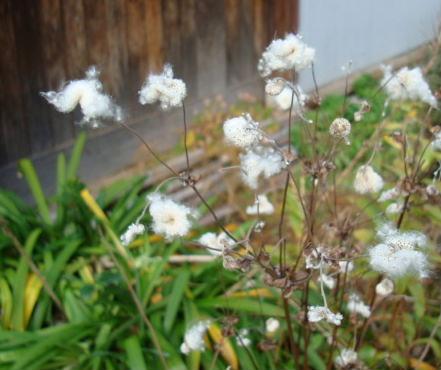 秋明菊の種