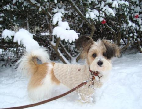 さざんかと雪と犬