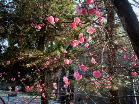 尾山神社の梅