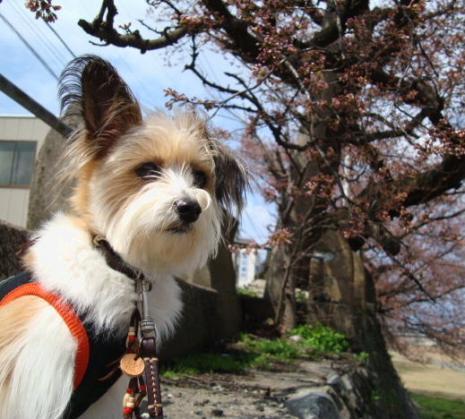 桜のつぼみとリプ