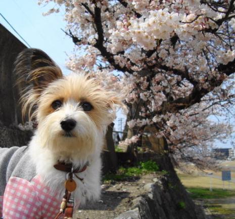 桜とリプリー