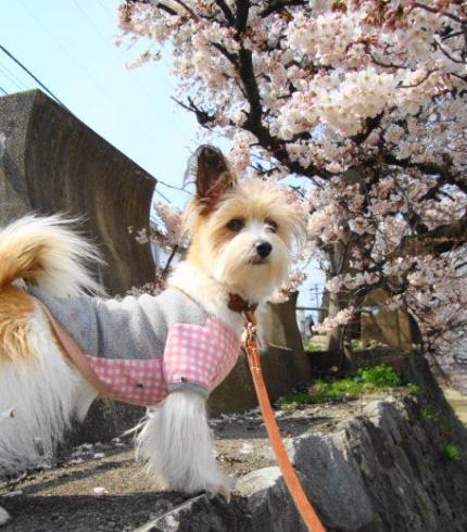 桜とリプリー。